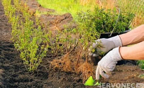 высадка кустов для изгороди